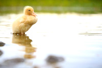 The Lonely Duckling.