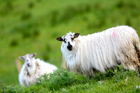 Sheep taken at Belcoo GAa Field.