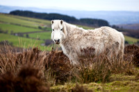 Abandoned Ponies left on Doon Mountain in County Fermanagh.